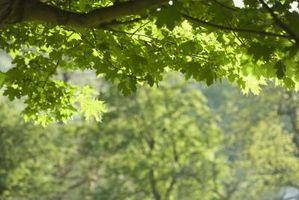 Pourquoi les feuilles poussent sur un arbre?