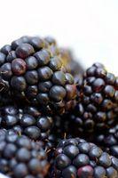Lorsque les framboises sont noirs dans la saison?