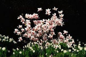 Comment prendre soin d'un arbre Magnolia