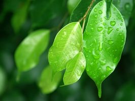 Comment: Parasites sur Ficus benjamina