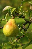 Pear Tree problèmes