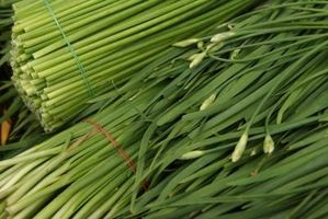 Comment cultiver des oignons verts (Allium fistulosum __gVirt_NP_NN_NNPS<__)