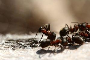 rem des la maison pour se d barrasser de petit noir fourmis dans une maison cuisine. Black Bedroom Furniture Sets. Home Design Ideas