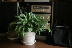 Quelle Plante Maison est le mieux pour Assainissement de l'air?