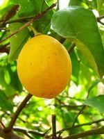 Comment couper un arbre de citron