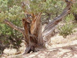 Comment appelez-vous les feuilles sur les arbres de cèdre?