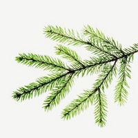 Faits intéressants au sujet Evergreens