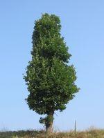 À croissance rapide Evergreen arbres