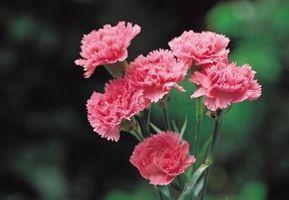 Comment cultiver Dianthus à partir de boutures de fleurs et graines