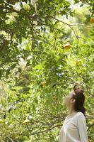 Comment faire pousser un arbre de citron extérieur