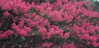 Floraison Bush avec Pink Curly Fleurs