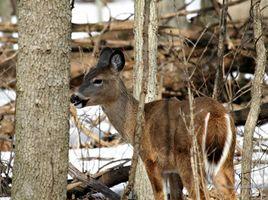 Croissance rapide cerfs arbres résistants