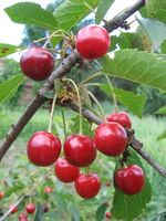 Quels Cherry Trees cultiver des fruits?