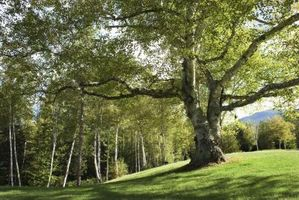 Comment élever un Canopy Arbre correctement