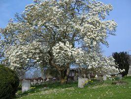 Comment prendre soin des fleurs de magnolias dans le Minnesota