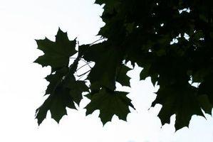 Comment féconder un Maple Tree Créé