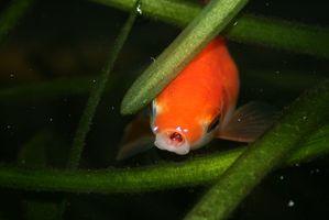 Comment faire pousser des plantes aquatiques d'eau douce