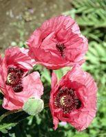 Que faire avec des fleurs de pavot Venez printemps?