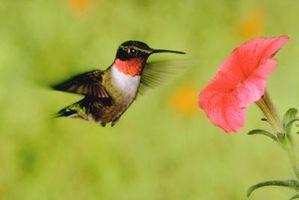 En dehors de pots de fleurs qui attirent les colibris Mais Repel chenilles