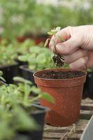 Comment faire pousser des plantes à fleurs intérieur avec de la laitue
