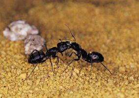 Comment utiliser des feuilles de Sèche comme un remède Ant