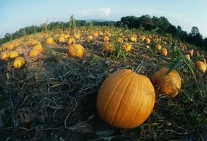 Traitement des Pumpkins Avec Mold usine