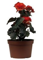 Que puis-je faire pour trop arrosé Roses dans un conteneur?