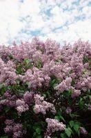 Early fleurs de printemps en Nouvelle-Angleterre