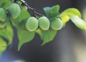 Sortes d'arbres avec de petits fruits verts