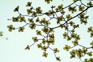 La floraison des arbres du Missouri