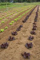 Comment récolter et préparer laitue Seeds