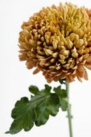 Plantes chrysanthème