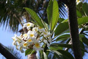 Comment planter des arbres tropicaux