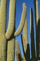 Noms botaniques pour les plantes succulentes