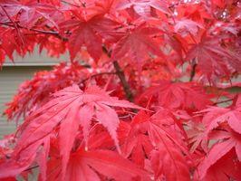 Un érable japonais peut être taillé Lorsque in Bloom?