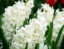 Comment prendre soin d'un Hyacinth Blanc