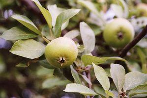 Qu'est-ce qu'un Apple Harvest précoce?