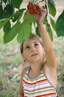 Cherry Trees cultivées dans les États-Unis