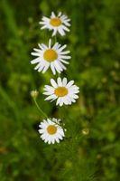 Caractéristiques de Daisy Fleurs