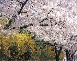 Comment forcer Cherry Blossoms à Bloom à la Chambre