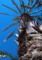 Comment les Palmiers Survive ouragans?