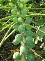 Comment puis-je faire pousser une plante Mango?