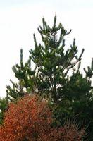 Quelle est la sève des arbres fait?