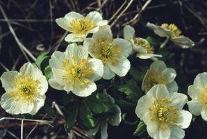 Les 10 Faits intéressants au sujet Anemone Fleurs