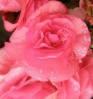 Lorsque Do Ranunculus Bloom?