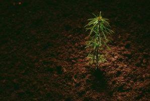 Comment faire pousser des arbres de pin dans le Mississippi