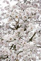 Comment prendre soin d'un nain Cherry Tree