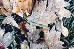 Faits intéressants au sujet de Red Oak Leaf