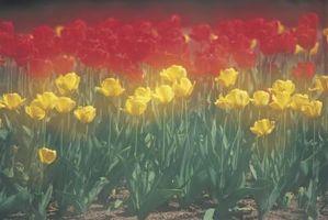 Tulip moment de la plantation