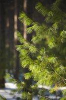 Comment planter des arbres de pin à encens